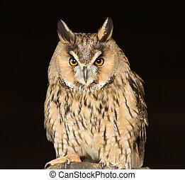 Portrait of a Long Eared Owl