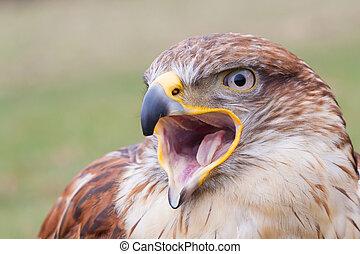 Portrait of a Long-legged Buzzard with open beak