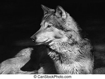 Portrait of a lying steppe wolf