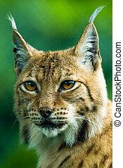 Portrait of a Lynx.