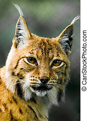 Lynx - Portrait of a Lynx. Focus is on the eyes.