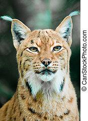Lynx - Portrait of a Lynx. Focus is on the eyes.