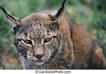 portrait of a lynx looking menacing at camera