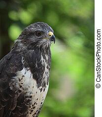 Portrait of a majestic common buzzard (Buteo buteo)