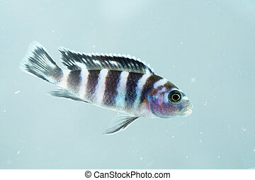 Portrait of a Malawi Cichlid