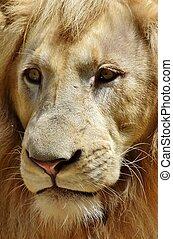 Portrait of a Male Lion