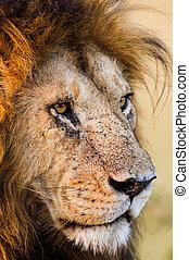 Portrait of a male lion in the Masai Mara in Keny