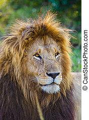 Portrait of a male lion in the Masai Mara in Kenya