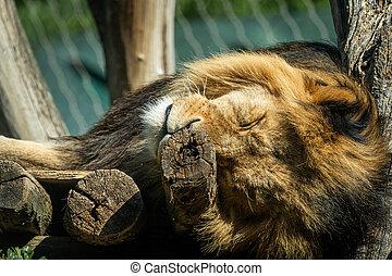 Portrait of a male lion sleeping in a zoo