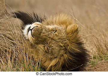 portrait of a male lion sleeping in savannah