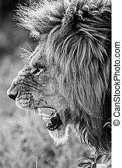 Portrait of a male lion snarling in the Masai Mara in Kenya