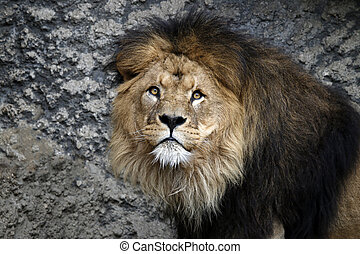 Portrait of a male lion with a rocky background