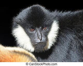 Portrait of a male White Cheeked Gibbon ( Nomascus...