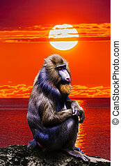 Portrait of a mandrill at sunset sky