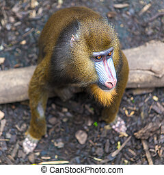Portrait of a mandrill.