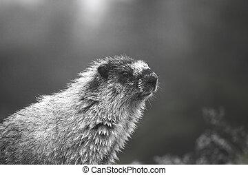 Portrait of a marmot