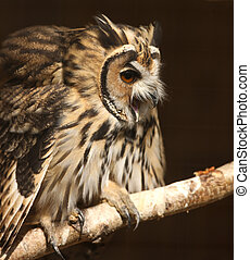 Mexican Striped Owl - Portrait of a Mexican Striped Owl...