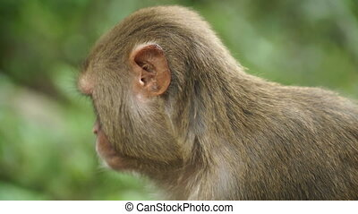 Portrait of a monkey in the jungle. In the forests of Nepal...