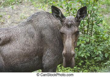 Portrait of a moose