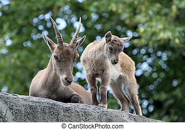 Portrait of a mother and child Alpine Ibex
