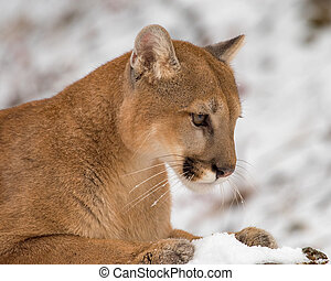 Portrait of a Mountain Lion in the Snow, Close Up
