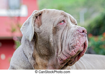 Portrait Of A Neapolitan Mastiff Dog - Portrait Of A...