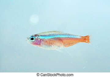 Portrait of a Neon Tetra