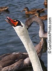 nice swan