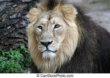 Portrait of a Noble Lion