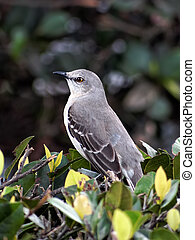 Portrait of a Northern Mockingbird