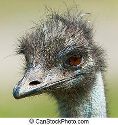 ostrich, (lat. Struthio camelus) - Portrait of a ostrich, (...