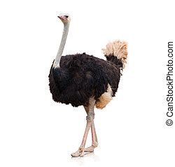 Portrait Of A Ostrich