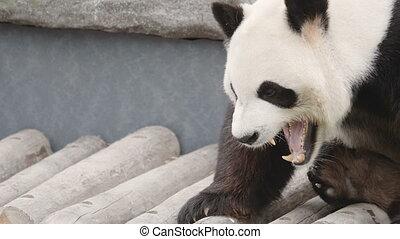 Closeup shot of a cute Panda Bear