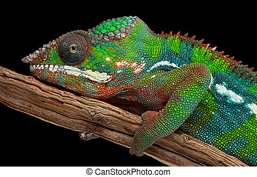Portrait of a panther chameleon - A colorful male panther...