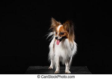 Portrait of a Papillon dog against dark background