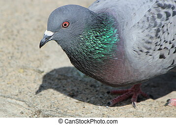 Portrait of a pigeon in the city