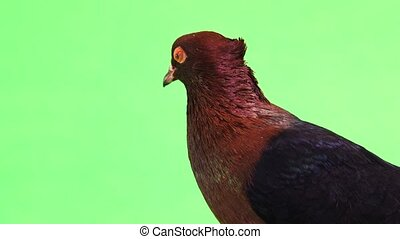 portrait of a pigeon on a green screen