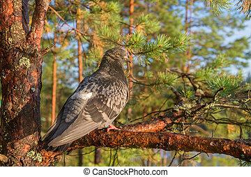 pigeon sitting on a pine tree