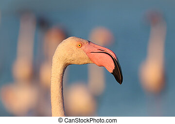 Portrait of a pink flamingo in the wild at sunset