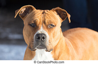 portrait of a pit bull dog .