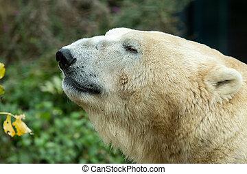 Portrait of a polar bear in a