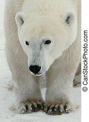 Portrait of a polar bear. - Vertical portrait of a polar...