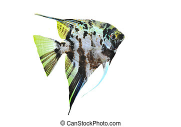 pterophyllum scalare - portrait of a pterophyllum scalare on...