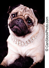 pug dog - portrait of a pug dog with jewellery