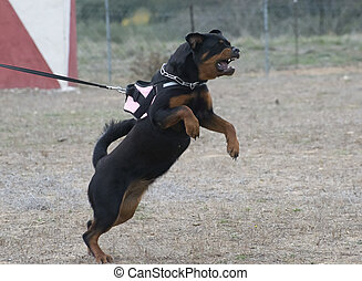 aggressive rottweiler
