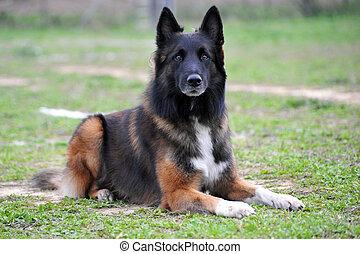 belgian shepherd tervueren - portrait of a purebred belgian...