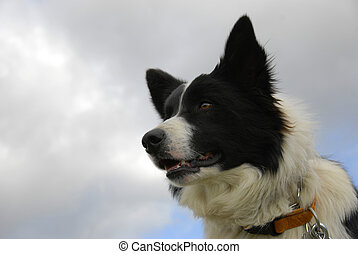 border collie - portrait of a purebred border collie and...