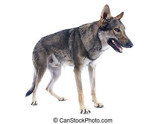 portrait of a purebred Czechoslovakian Wolfdog in front of a white background