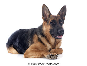 german shepherd - portrait of a purebred german shepherd in ...