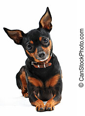 portrait of a purebred miniature pinscher on a white background, focus on the eyes